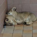 ライオン赤ちゃん