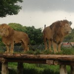 ライオン2頭